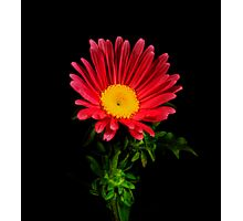 Red Daisy Portrait. Photographic Print