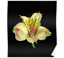 Yellow Peruvian Lily Portrait #2. Poster