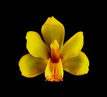 Yellow Cymbidium Portrait.  by chris kusik
