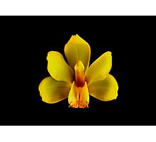 Yellow Cymbidium Portrait.  Photographic Print