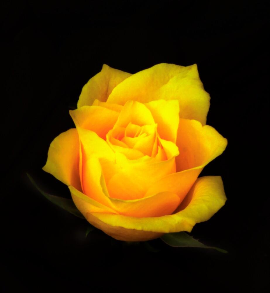 Yellow Rose Portrait. by chris kusik