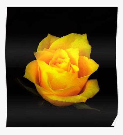 Yellow Rose Portrait. Poster