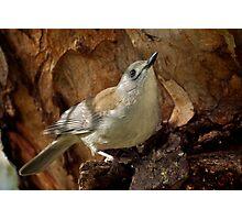 Grey Shrike Thrush  Photographic Print
