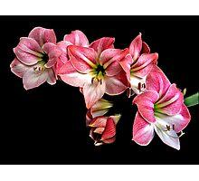 Pink Amaryllis  Cluster Portrait. Photographic Print