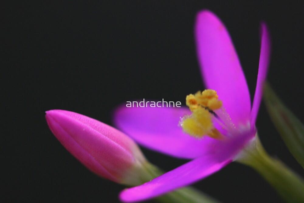 Schenkia spicata by andrachne