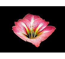 Amaryllis Portrait. Photographic Print