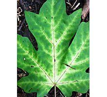 Maple leaf large Photographic Print