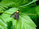 Golden-backed Snipe Fly - Chrysopilus thoracicus by MotherNature