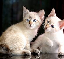 Mekong bobtail kittens  by © Kira Bodensted
