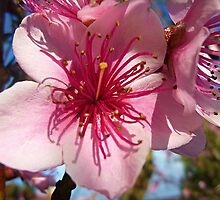 *Blossom of my 40 yr. old Nectarine tree - 2015* by EdsMum