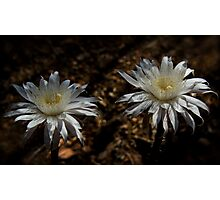 Queen of the Night Blooms  Photographic Print