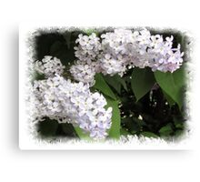 White lilac Canvas Print