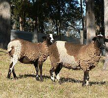 Black & White Lambs by louisegreen