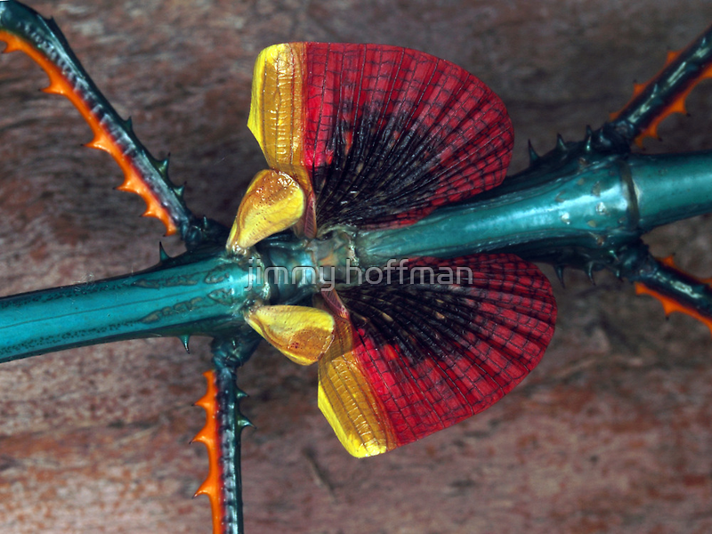 Achrioptera fallax wings by jimmy hoffman