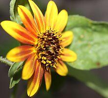 Sunrise in the Sunflower by aprilann