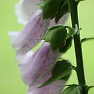 Digitalis by Astrid Ewing Photography