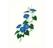 Blue Bindweed Isolated on White Art Print