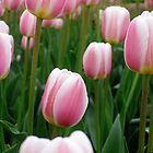 Tulips 9 by photonista