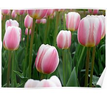 Tulips 9 Poster