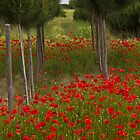 Wild Poppies in Tuscany by vivsworld