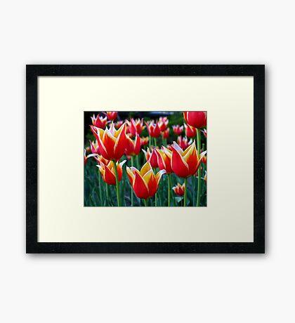 Tulips 3 Framed Print