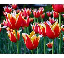 Tulips 3 Photographic Print
