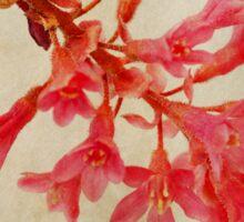 Ribes sanguineum - Flowering Currant Sticker