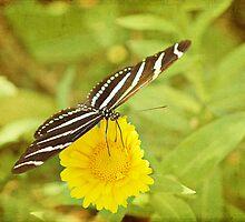 Zebra Butterfly on Daisy by photecstasy