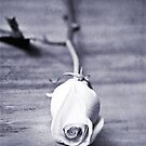 Black & White Rose by photecstasy