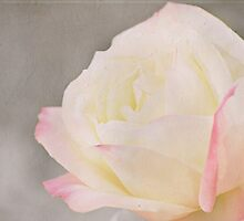 Yellow & Pink Rose by photecstasy