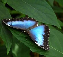 Blue Morpho #2. by chris kusik