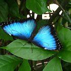 Blue Morpho #1. by chris kusik