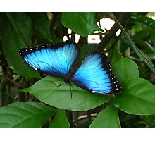 Blue Morpho #1. Photographic Print