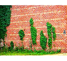Lines of Ivy Photographic Print