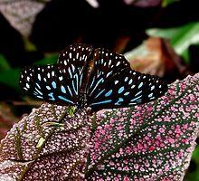 Dark Blue Tiger. by chris kusik