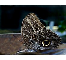 Owl Butterfly. Photographic Print