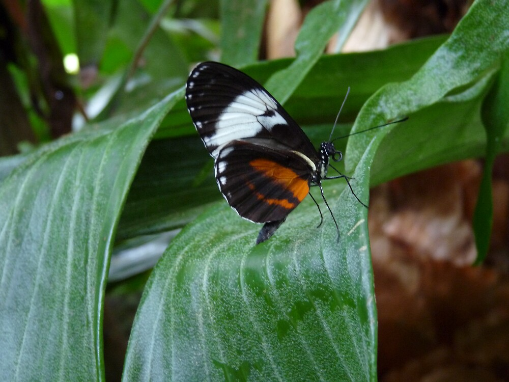 Sapho Longwing #2. by chris kusik