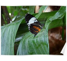 Sapho Longwing #2. Poster