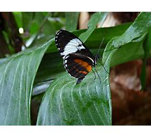Sapho Longwing #2. Photographic Print