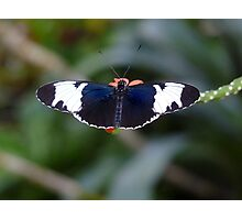 Sapho Longwing #1. Photographic Print