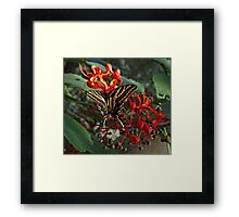 Three Tailed Tiger Swallowtail. Framed Print