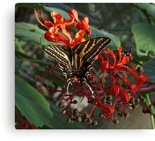 Three Tailed Tiger Swallowtail. Canvas Print