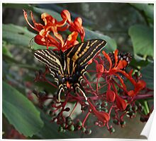 Three Tailed Tiger Swallowtail. Poster