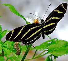 Zebra Longwing. by chris kusik