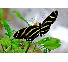 Zebra Longwing. Photographic Print