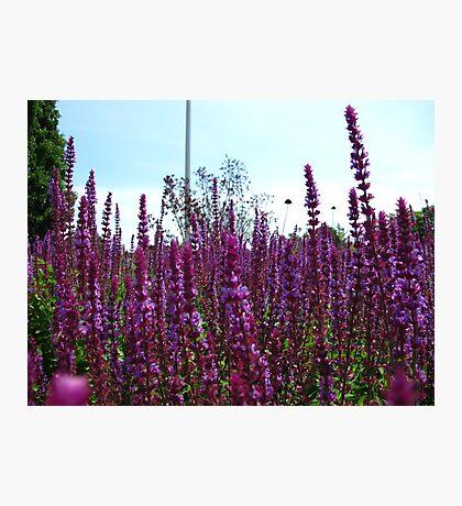 Knee deep in purples Photographic Print