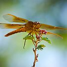 Red Skimmer Dragonfly  by Saija  Lehtonen