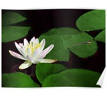 Water Lily & Dragonfly Poster
