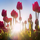 Pink Tulips at Sunset by Henry Jager