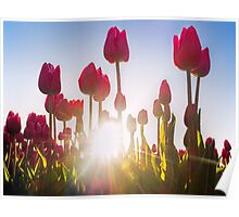 Pink Tulips at Sunset Poster